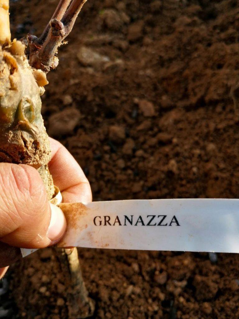 #cantinacanneddu #granazza #alberello #nuovoimpianto #concimazione #organic #autoctono #local #biologico #naturale #mamoiada #sardegna #italy #grape #whitewine #territorio #terroir